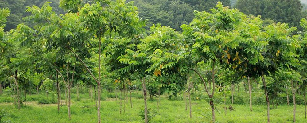 成長した漆の木